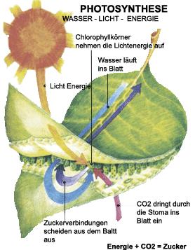 Photosynthetisch